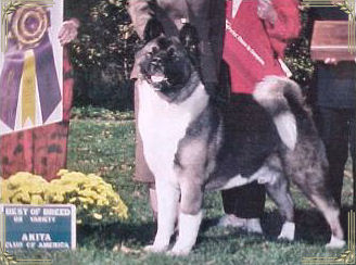 Champion Regalia's Darq Wolf, Akita, Winner at Akita Nationals